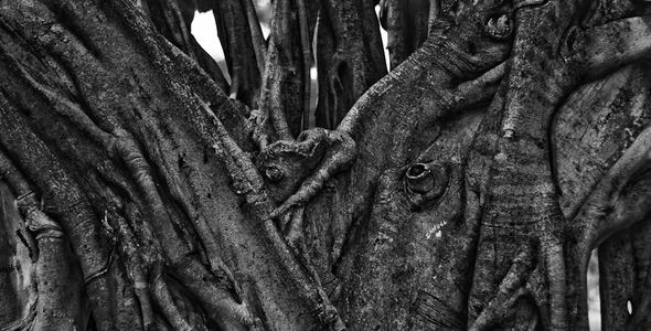 Old Tree in Fluvial Vallarta