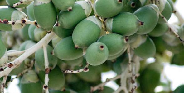 Coquitos Verdes