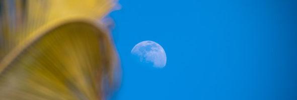 Palm Blue Moon