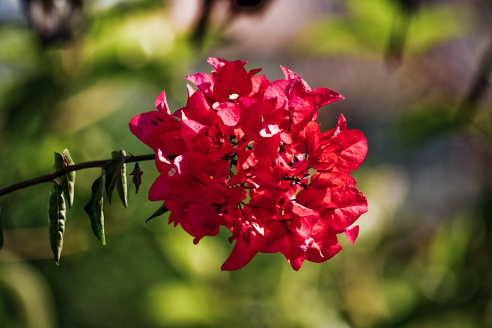 Spring Buganbilia