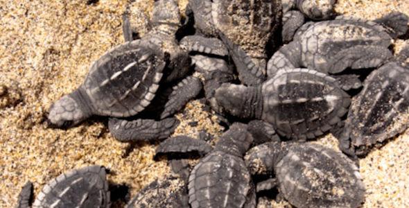 Tortuguitas de Majahuas