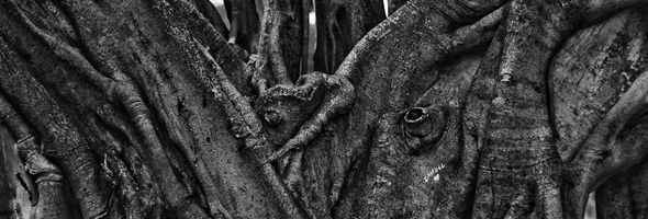 Old Tree in Fluvial Vallarta