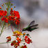 colibrí – Hummingbird
