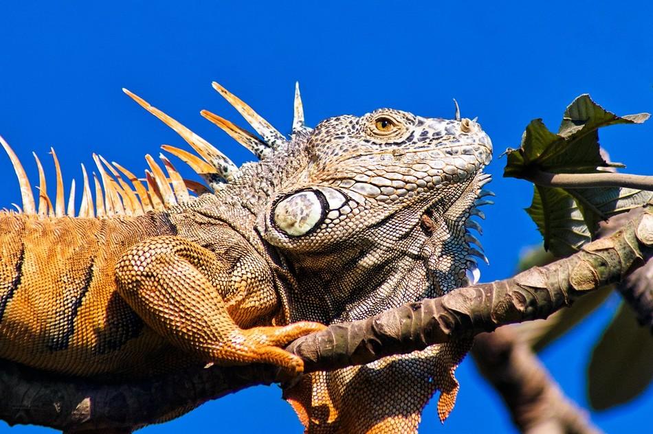 The Big Iguana